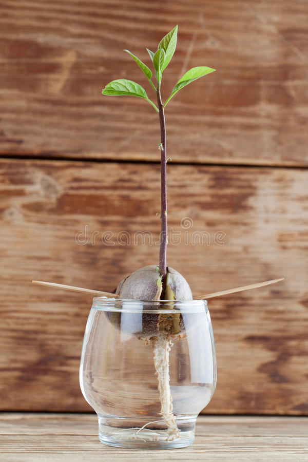 Прорастать авокадо - часть 4 стоковое фото rf