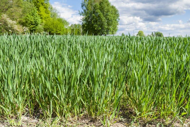 Прорастать зерно стоковая фотография rf