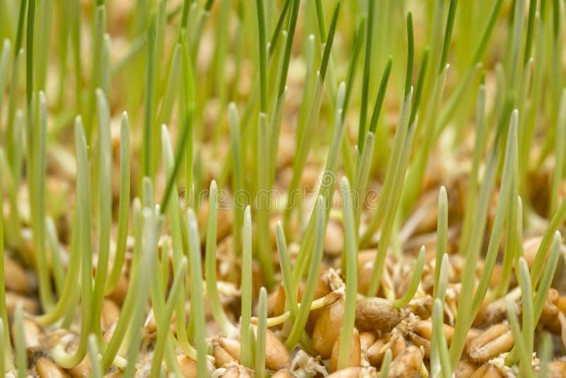 Прорастать предпосылка зерна пшеницы стоковое изображение