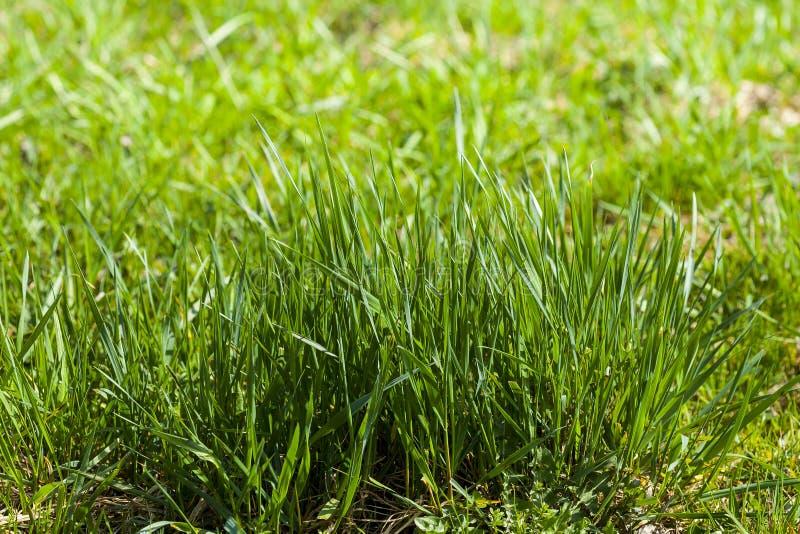 Прорастать трава стоковая фотография