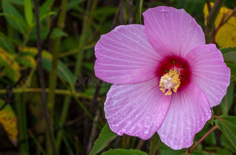 Просвирник болота розовый в болоте стоковые изображения