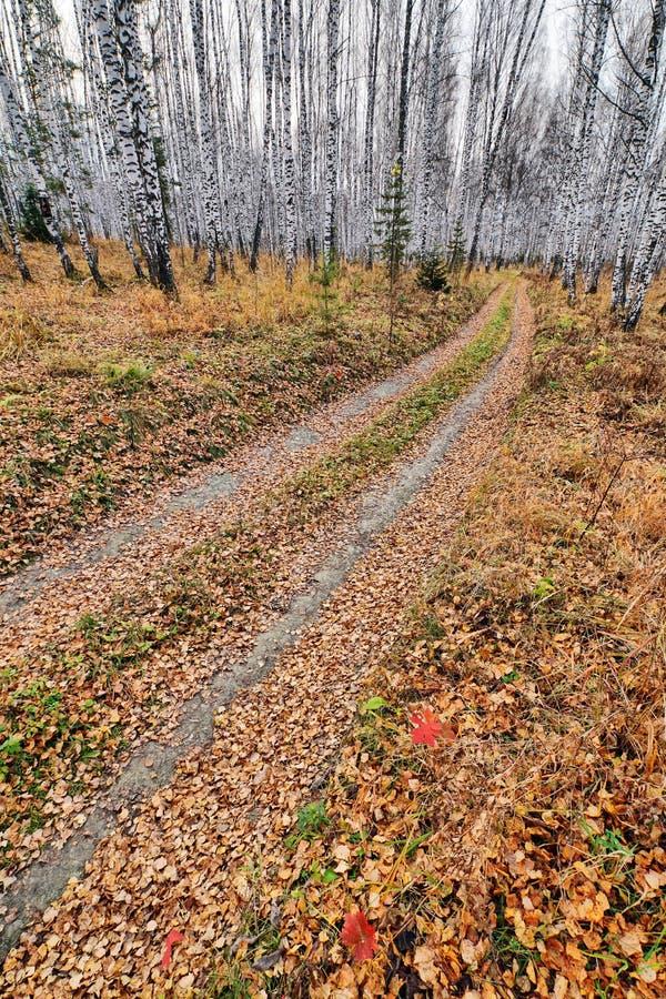 Проселочная дорога предусматриванная с смертельно желтым цветом выходит в лес березы стоковое изображение rf