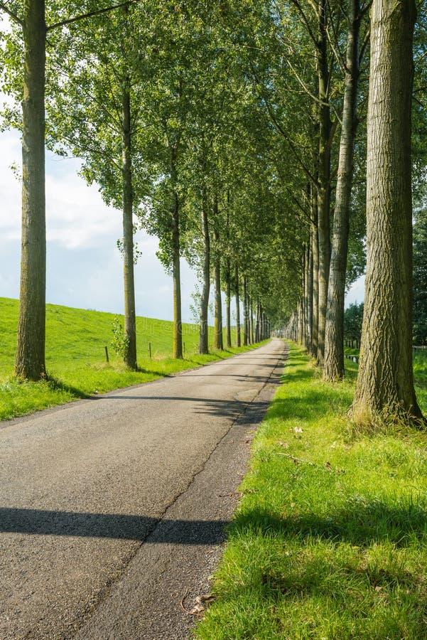 Проселочная дорога между строками высоких деревьев стоковые фотографии rf