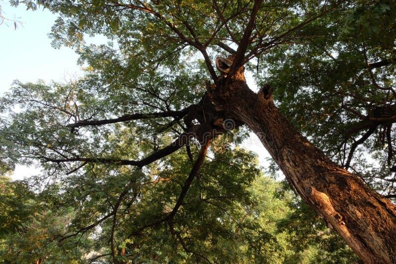 Просмотр снизу в верхней части дерева Дерево ветвится над небом стоковое фото rf