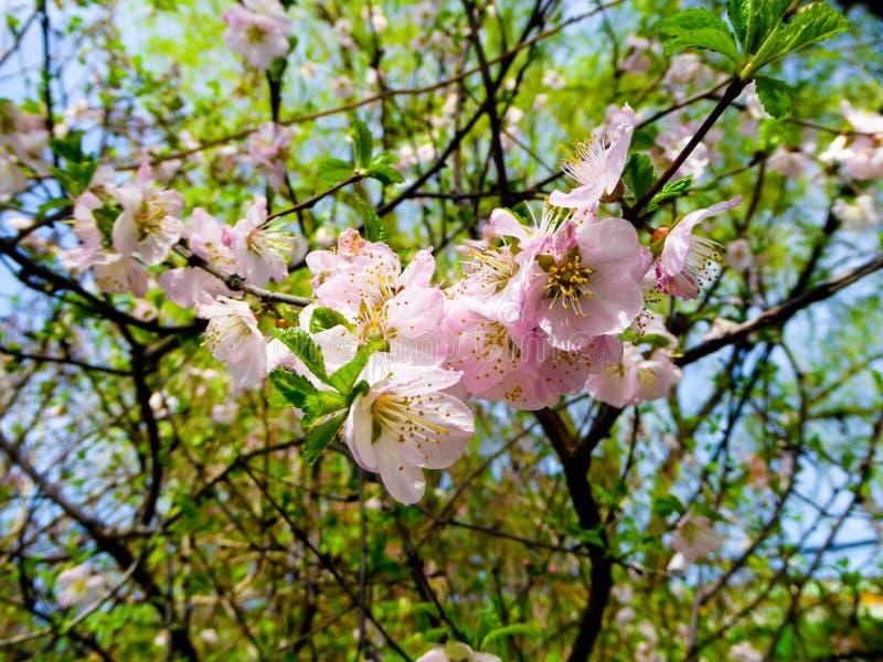 Просмотр цветения персика стоковое изображение