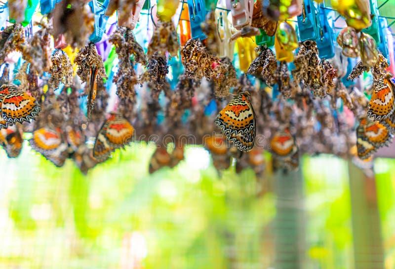 Простая бабочка Lacewing насиживая от своих куколок для того чтобы завершить жизненный цикл метаморфозы Бабочки разводя и обрабат стоковое изображение rf