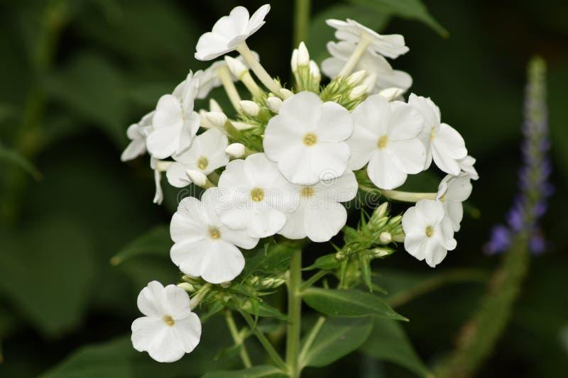 Простая белая очищенность флокса Paniculata, сорта растения Danielle стоковые фото