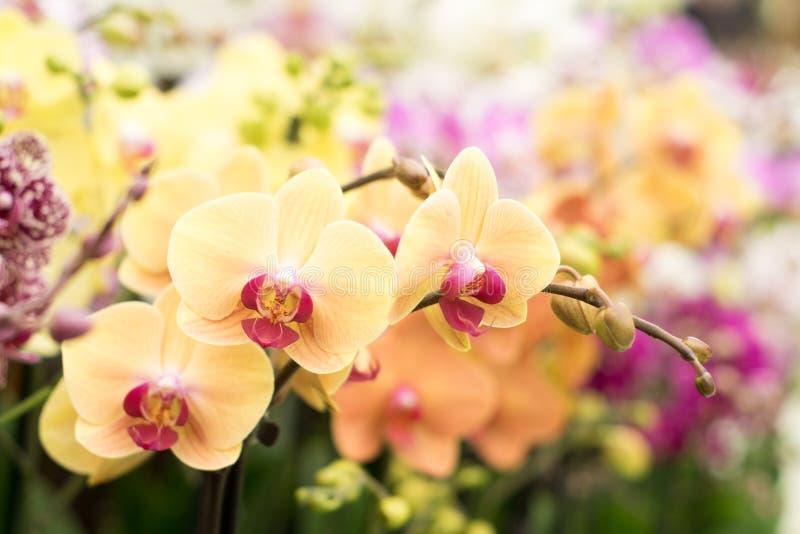 Простой и популярный тип орхидеи в персике и розовом цвете стоковые изображения rf