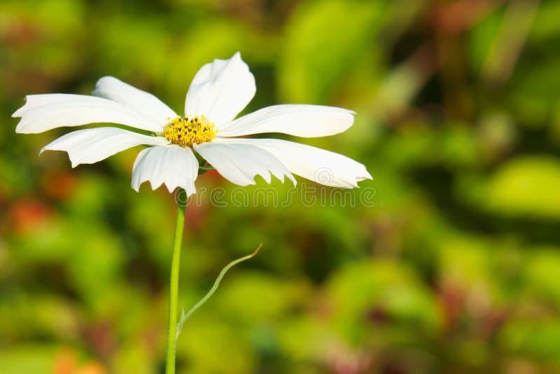 Простой, но чувствительный одиночный белый цветок с желтым центром, хлопающ вверх от своих окрестностей, в сочной тайской кровати стоковое фото rf