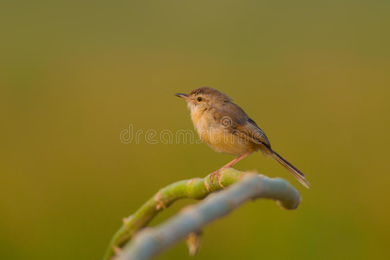 Простый prinia, или равнина, или бело-browed крапивниковые-певчая птица & x28; Inornata& x29 Prinia; стоковая фотография rf