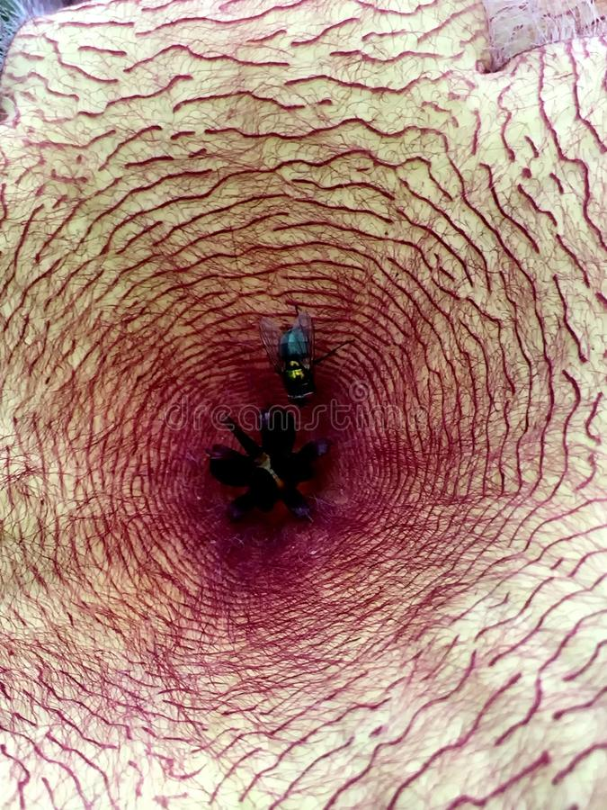 Прослушивайте на лепестке цветения стапелияи цветка мяса стоковые фотографии rf