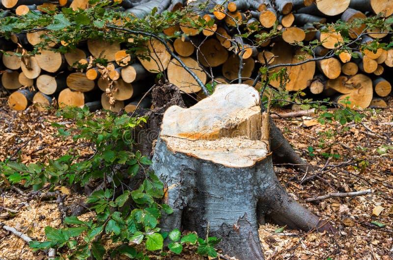Противозаконная валка деревьев в лесе стоковая фотография rf