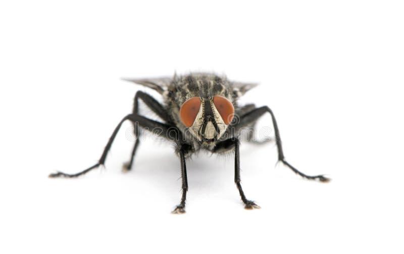 против белизны портрета мухы плоти предпосылки стоковая фотография