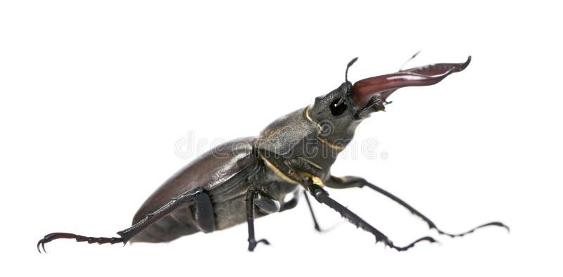 против белизны рогача жука предпосылки европейской стоковые изображения