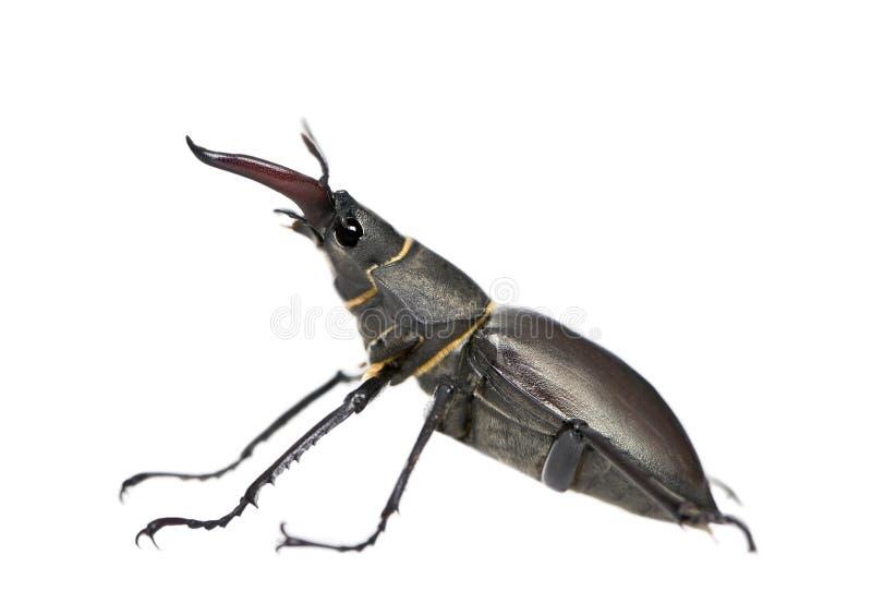 против белизны рогача жука предпосылки европейской стоковые фото