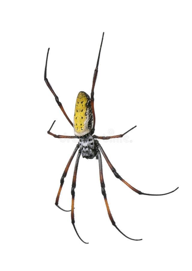 против белизны сети паука шара предпосылки золотистой стоковые изображения rf