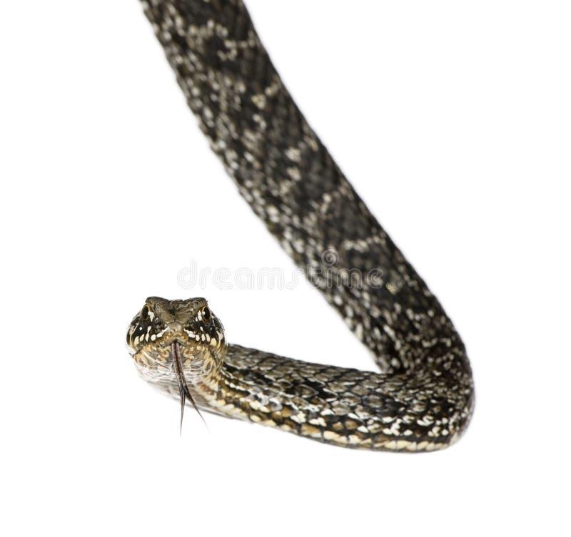 против белизны хлыста змейки предпосылки horseshoe стоковое фото