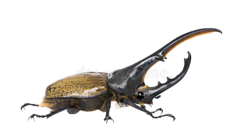 против белизны hercules жука предпосылки стоковая фотография