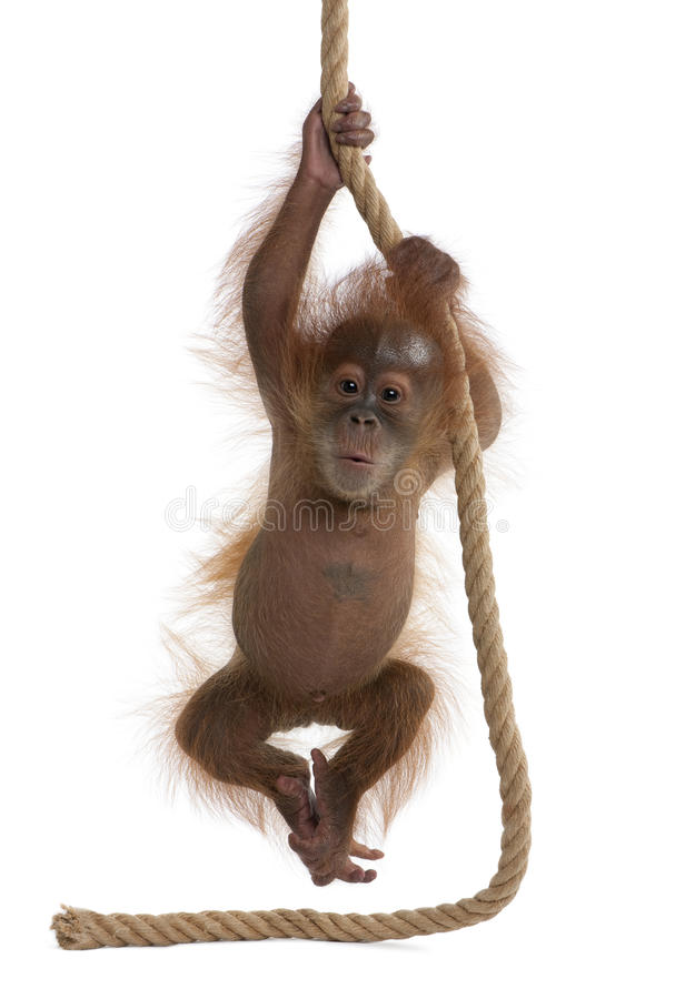 против белизны sumatran orangutan предпосылки младенца стоковые изображения rf