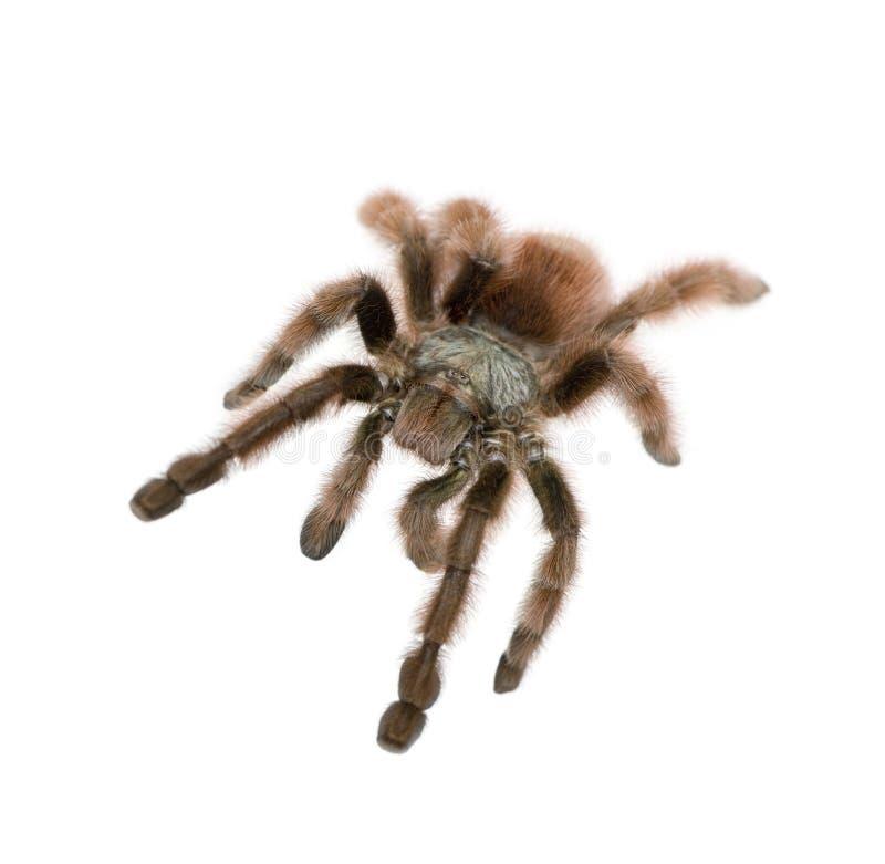 против белизны tarantula предпосылки стоковые фото
