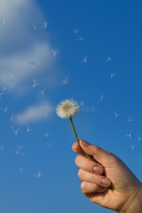 против голубого неба удерживания руки одуванчика стоковые фото