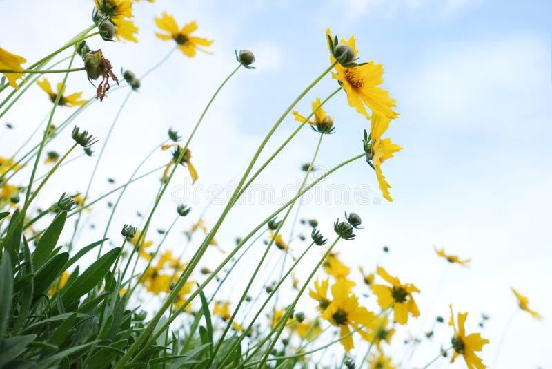 против голубой маргаритки цветет желтый цвет неба Желтые цветки стоковая фотография rf