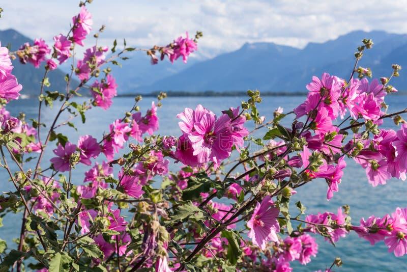 против гор озера geneva цветков стоковое изображение rf