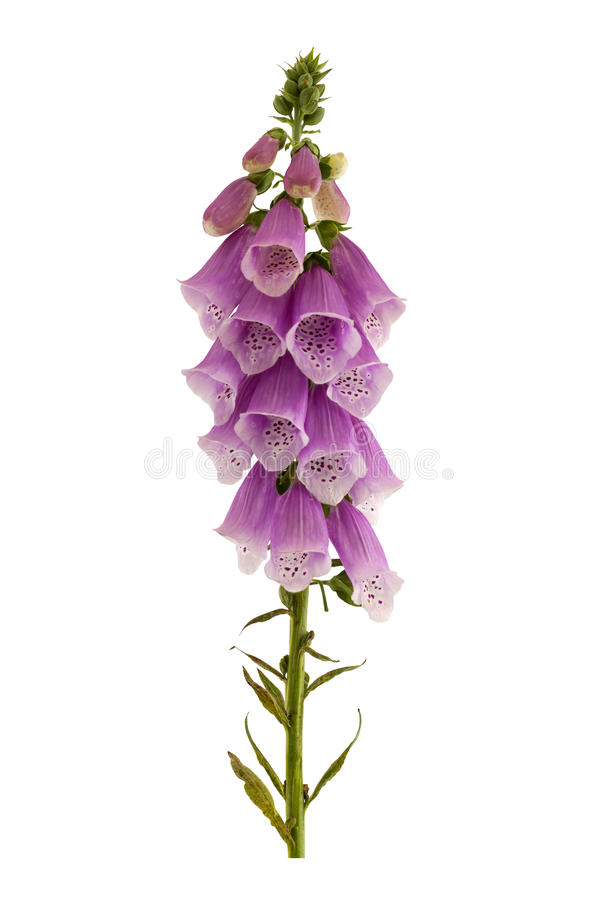 против голубого неба purpurea foxglove цветка наперстянки одичалого стоковые фотографии rf