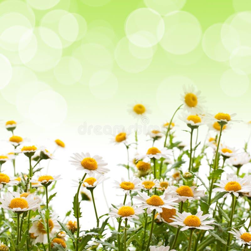 против голубой маргаритки цветет желтый цвет неба стоковое фото
