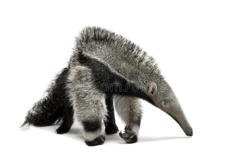 против детенышей предпосылки anteater гигантских белых стоковые фотографии rf