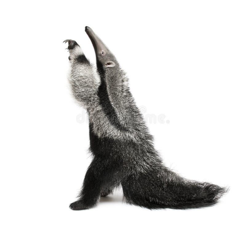 против детенышей предпосылки anteater гигантских белых стоковое фото
