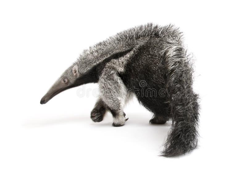 против детенышей предпосылки anteater гигантских белых стоковая фотография rf