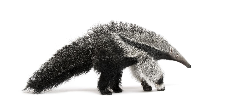 против детенышей предпосылки anteater гигантских белых стоковая фотография