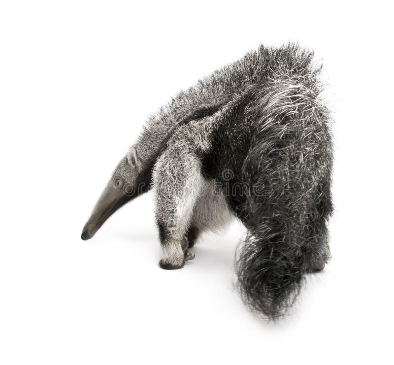 против детенышей предпосылки anteater гигантских белых стоковые изображения