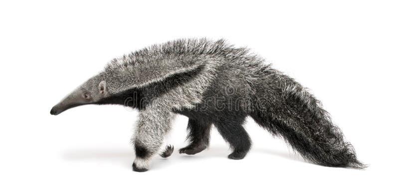 против детенышей предпосылки anteater гигантских белых стоковое изображение