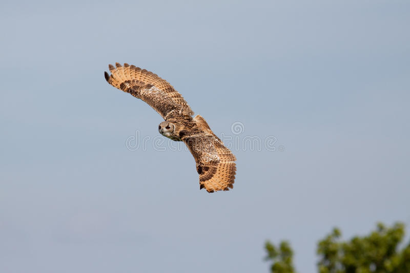 против неба сыча голубого летания огромного стоковое фото
