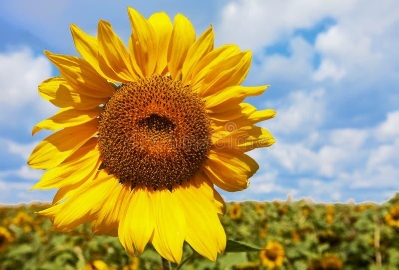 против облаков landscape желтый цвет солнцецвета лета природы Ландшафт ЛЕТА стоковая фотография rf