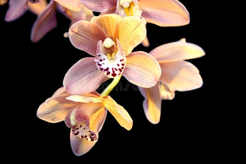 против орхидей черноты предпосылки стоковое фото