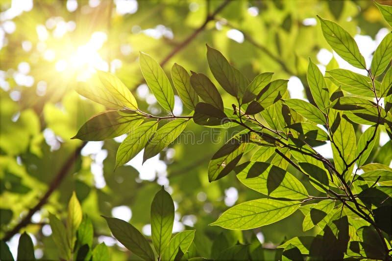 против солнца утра листьев стоковые изображения rf