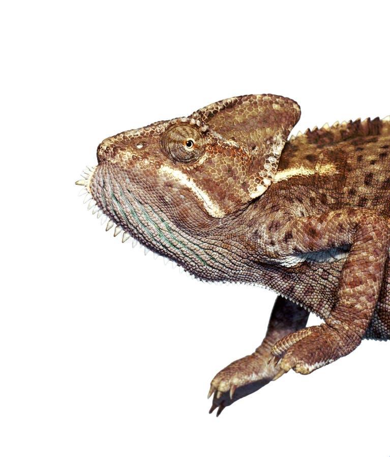 против хамелеона коричневого цвета предпосылки изолированная белизна стоковое изображение rf