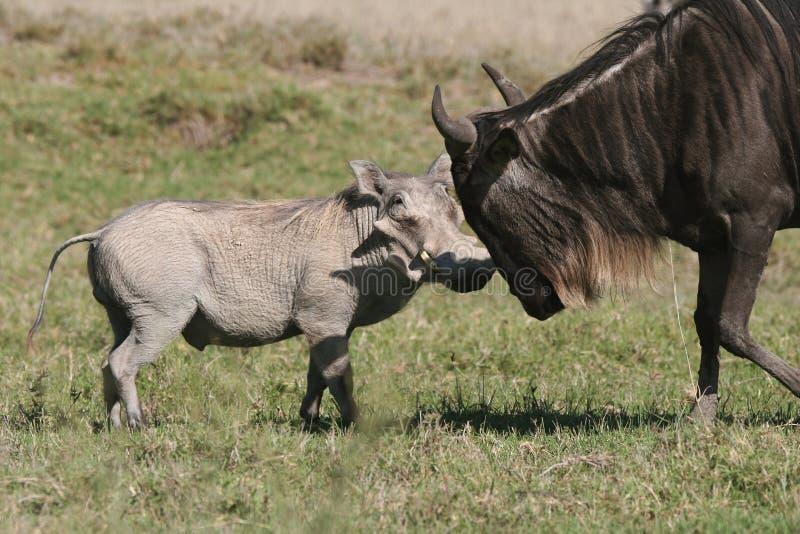 против wildebeest warthog стоковое изображение rf