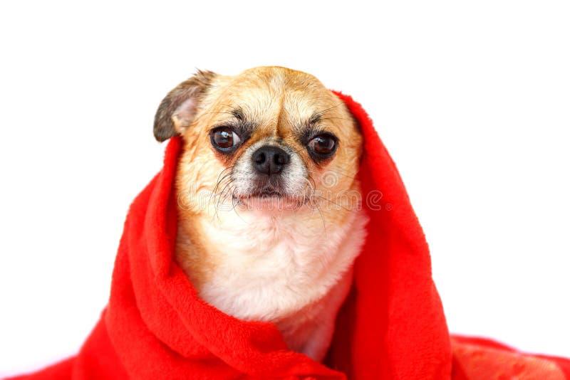 Протирка собаки тело сухое стоковое фото