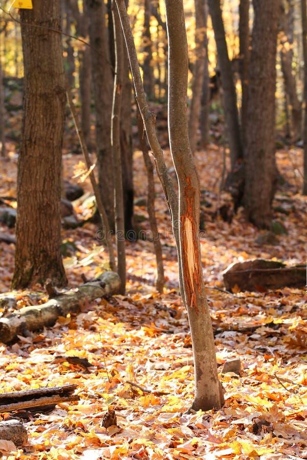 Протирка Antler самца оленя оленей Whitetail на дереве стоковое изображение rf