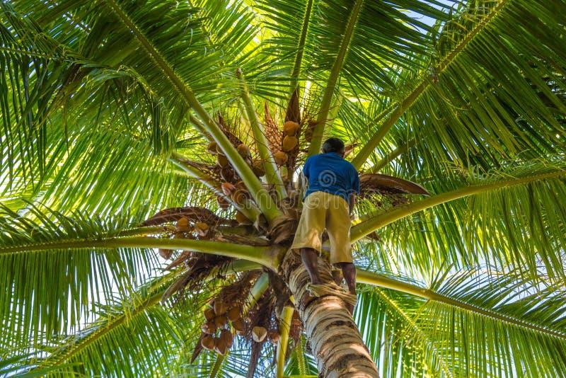 Профессиональный альпинист на кокосовой пальме собирая кокосы с веревочкой стоковое фото