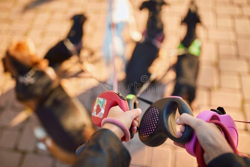 Профессиональный ходок собаки - поводок стоковое изображение rf