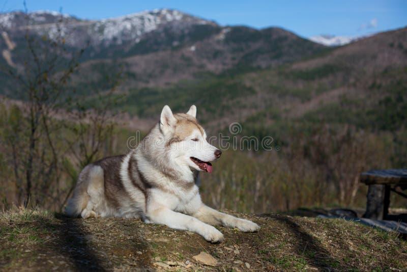 Профилируйте изображение свободной и prideful бежевой и белой собаки сибирской лайки лежа в лесе на солнечной предпосылке гор стоковая фотография rf