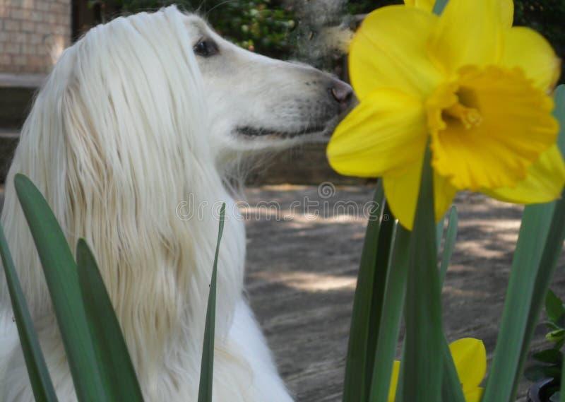 Профиль афганской борзой главный с гигантским цветком Daffodil стоковая фотография