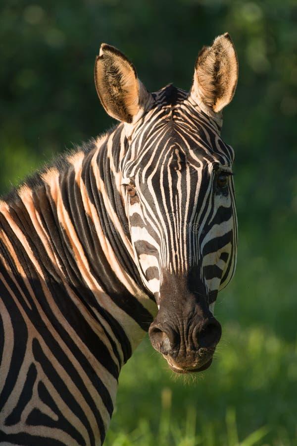 Профиль головы зебры стоковые фото