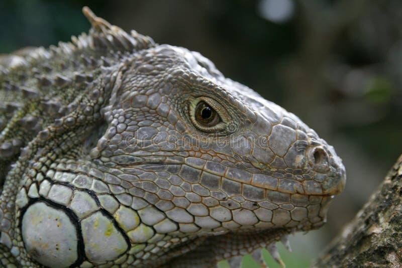 профиль игуаны стоковые фото
