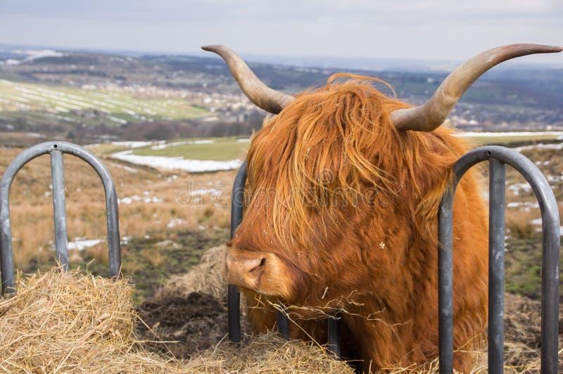 Профиль коровы гористой местности есть солому от фидера скотин стоковая фотография